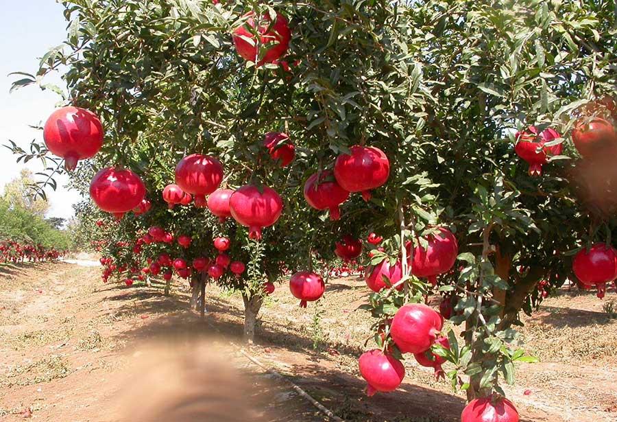 Plantation de grenade pink équitable